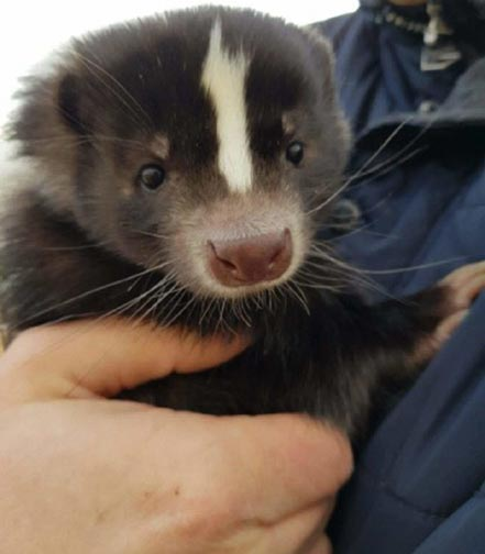 Clairvoyant clues were given about Zuzia, the missing Polish skunk.